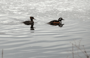 Hooded Merganser Hen, and Drake with Crest Lowered | March 5, 2013