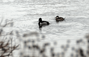 Pair of Ring-necked Ducks | March 8, 2013