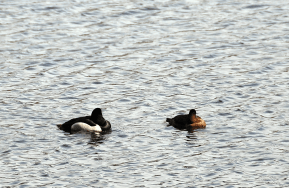 Pair of Ring-necked Ducks Napping | March 15, 2013
