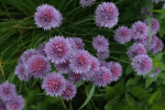 3. Chive Blossoms