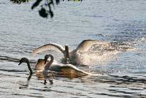 Fighting Swans | June 1, 2013, 8:22 am