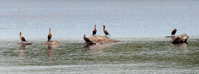 Juvenile Double-crested Cormorants on Rocks | July 4, 2010
