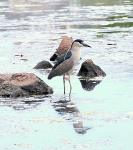 Black-crowned Night Heron at Dusk | June 3, 2009, 6:59 pm