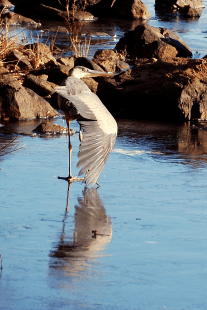 Great Blue on Ice | November 25, 2013, 9:34:21 am