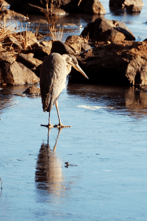 Great Blue on Ice | November 25, 2013, 9:35:03 am