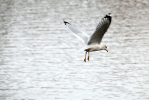 Herring Gull in Flight | November 15, 2014, 12:00 Noon