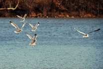 Lesser Black-backed Gulls | November 24, 2014
