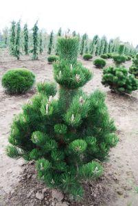 Сосна черная Oregon Green
