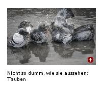 Was die FAZ von Tauben hält