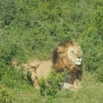 Día 10: El día que vimos un león en Sudáfrica