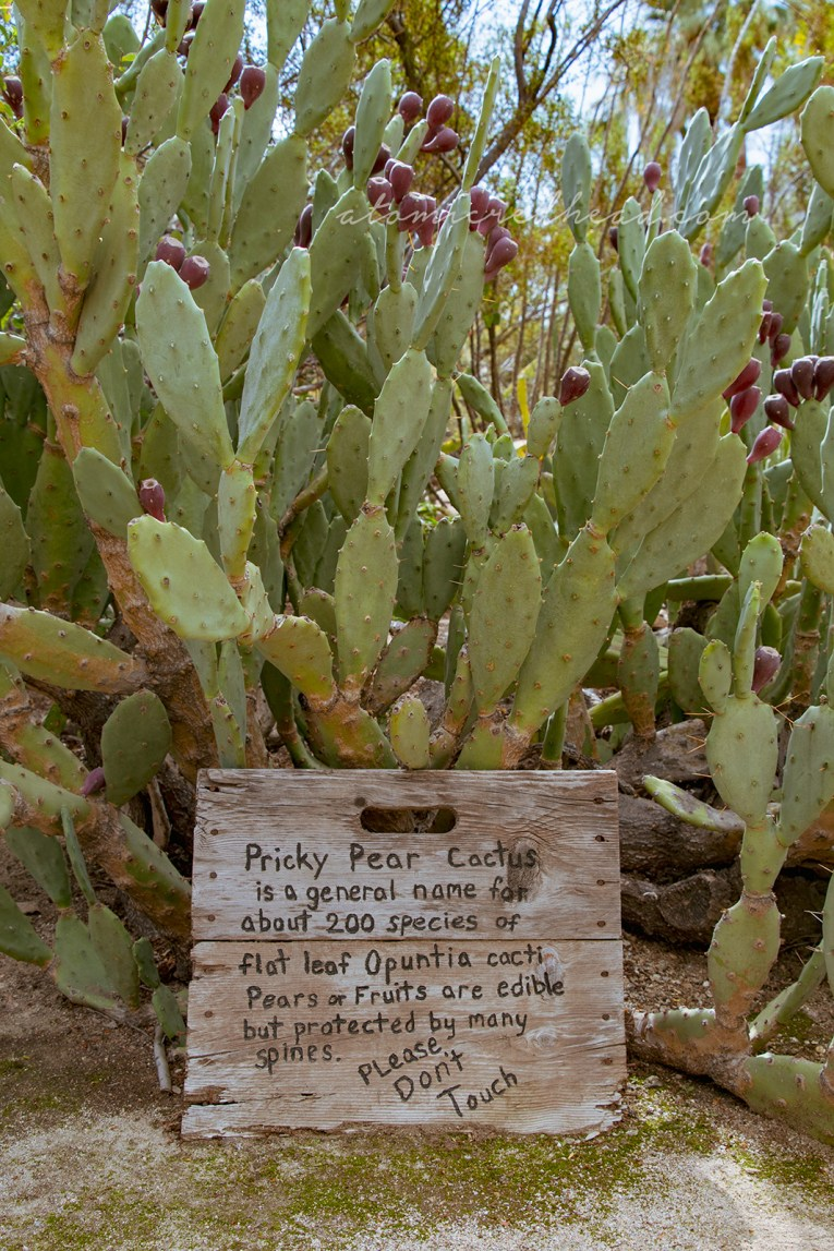 A large prickly pear with wide paddles and magenta fruit.