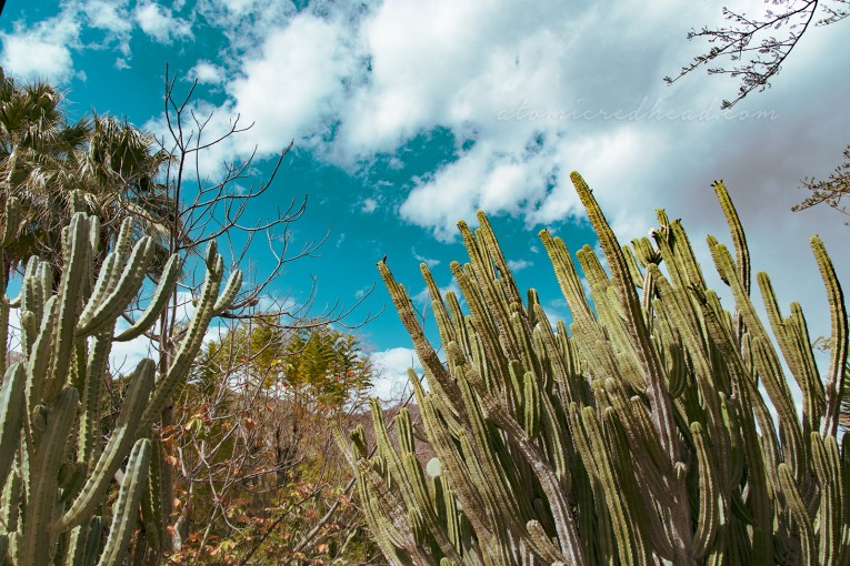 Many cacti that are tall and thin stretch upwards toward a blue sky.