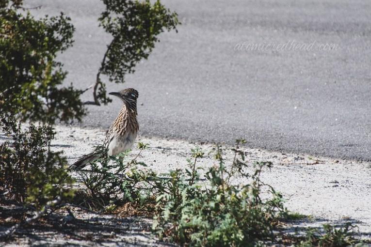 A roadrunner peeks from behind a bush.