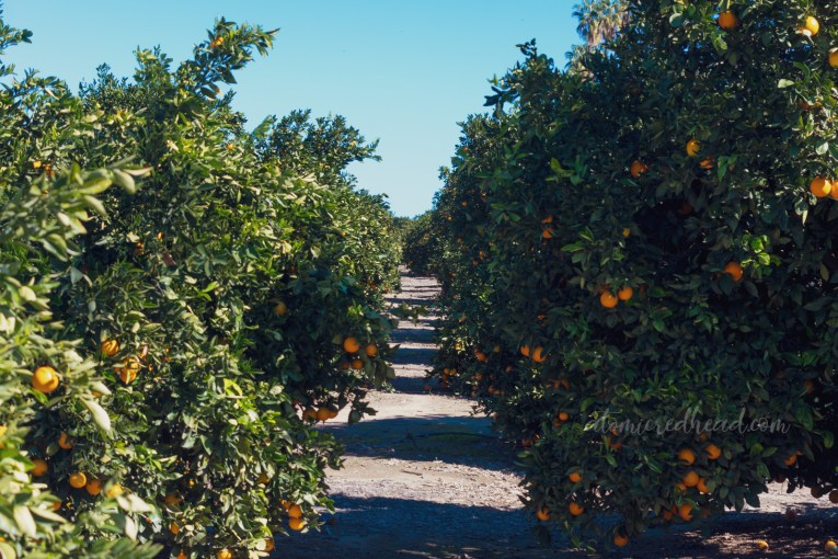 Looking down a row of orange trees, with vibrant orange fruit hanging on them.
