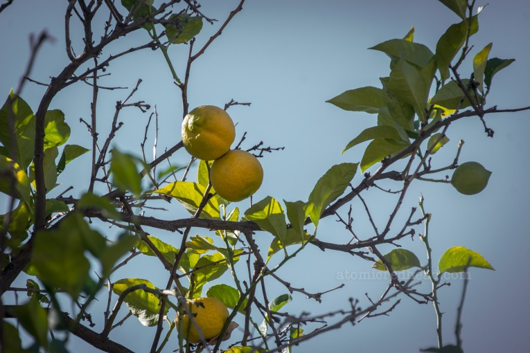 Lemons grow on a tree on the property.