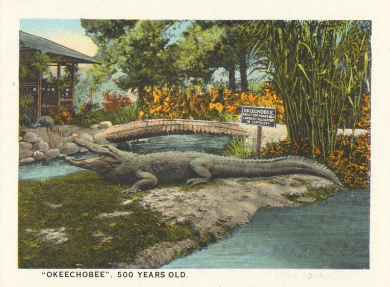 """A large gator sits on a rock near a pool. Caption reads """"'Okeechobee' 500 years old."""""""