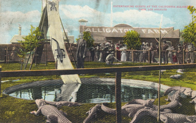"""A group of guests look over a pool that has a steep slide, which an alligator slides down. Text across a roof in the background reads """"Alligator Farm."""" Red text in the upper right of the postcard reads """"Entertaining guests at the California Alligator Farm, Los Angeles."""""""