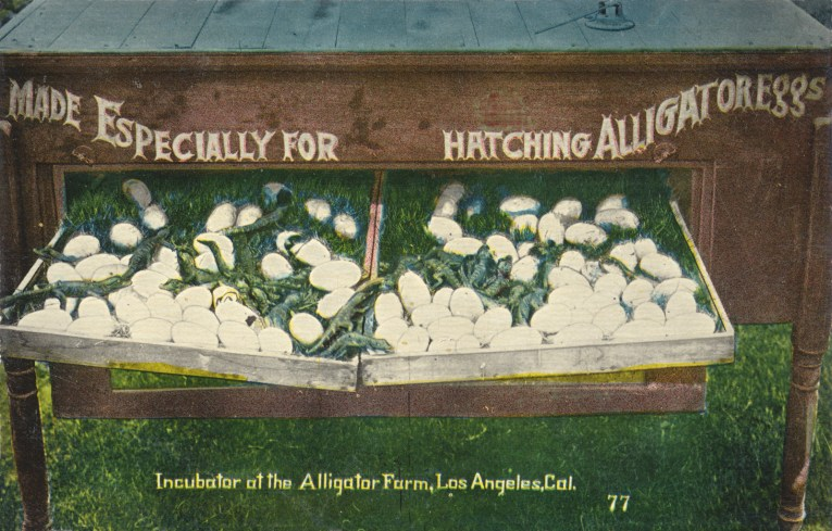 """Postcard featuring a photo of a wood box with trays of eggs and baby alligators. White painted text on the box reads """"Made Especially for hatching Alligator Eggs"""" Text at the bottom reads """"Incubator at the Alligator Farm, Los Angeles, Cal."""""""