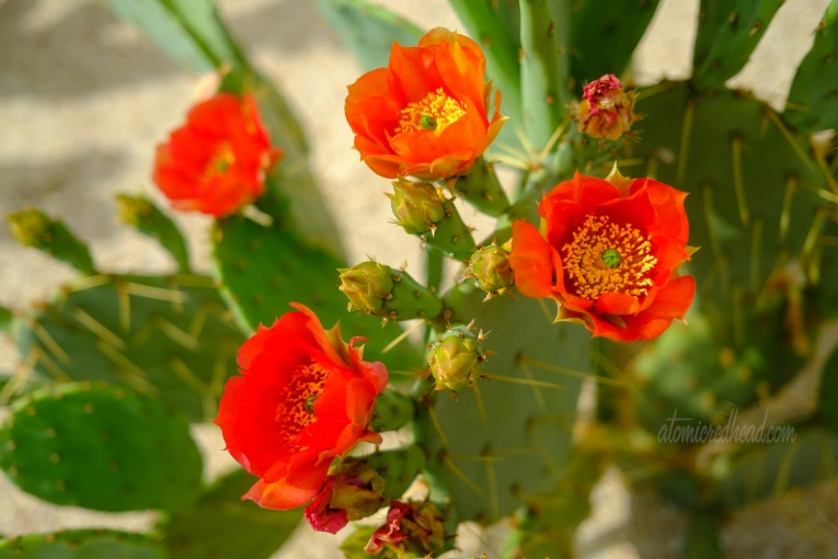 Close up of red flowers blooming on a prickly pear cactus.