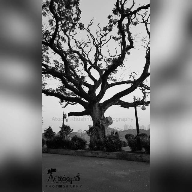 AtoofaKhushnoodPhotography AtoofaPhotography Nature StandAloneTree Tree Plant Greenery LoveNature Branches NatureLoverhellip
