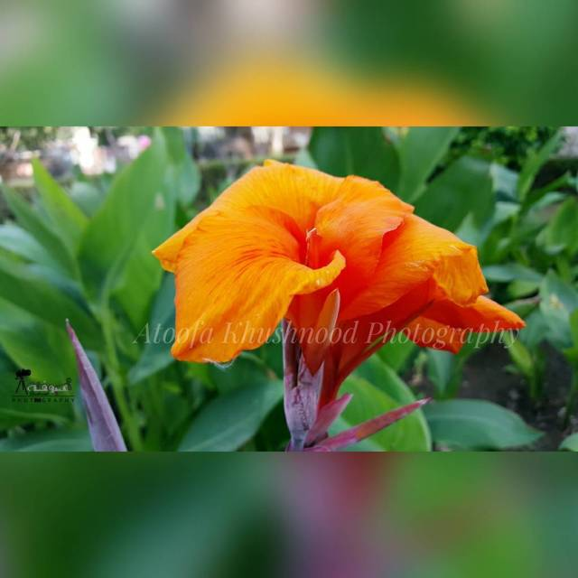 AtoofaPhotography OrangeFlower Greenery GoGreen Plants PlantTrees AjmerFlower AjmerTrip Vacation Photographhellip