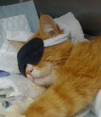 Gato durmiendo con antifaz