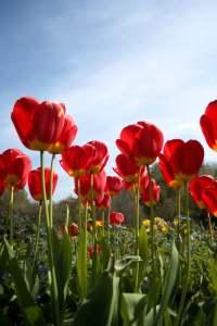 Springtime Red Flowers In UK