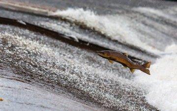 saumon saut rivière