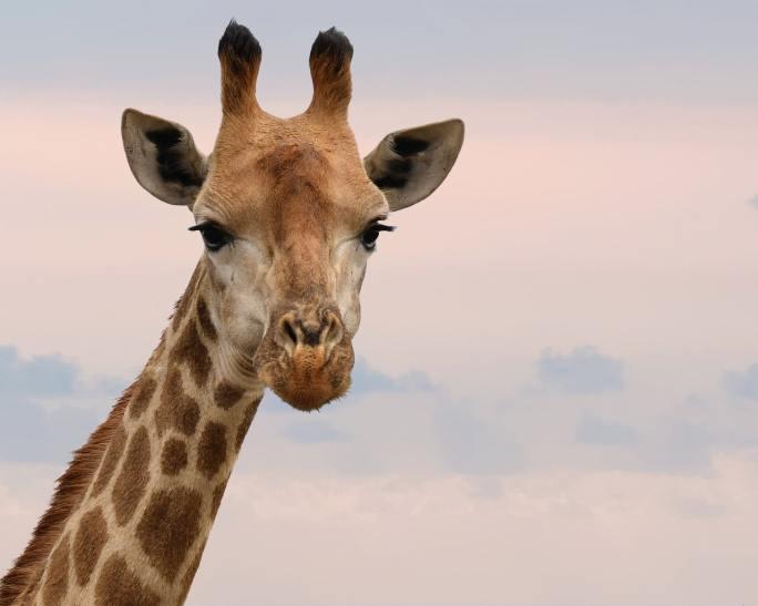 giraffe www.atozmomm.com