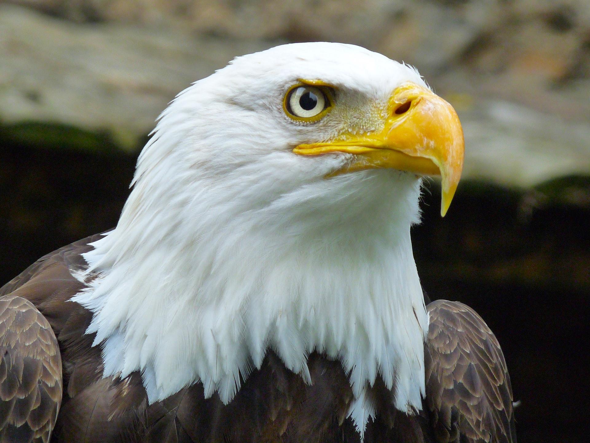 photo of bald eagle www.atozmomm.com