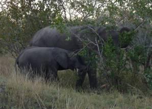 Elephant mum and baby having breakfast