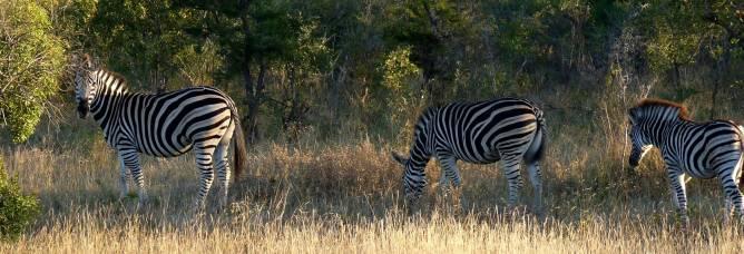 A dazzle of zebra.