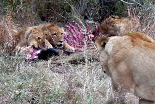 Lions don't like to share.