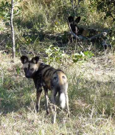 Elusive wild dogs - we found them finally after tracking them for 60 kms