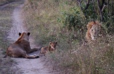 Lion family, with a dangerous dad