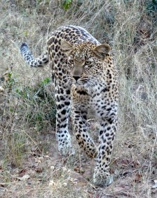 Young female leopard stalking her dinner