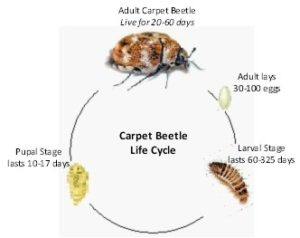 How Long Is The Life Cycle Of Carpet Beetles Www