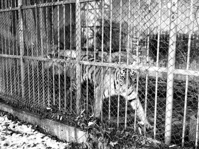Dream of the tiger - Pent animal project