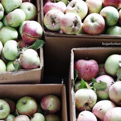 How to Make Apple Cider with a Juicer (and frugal apple vinegar)