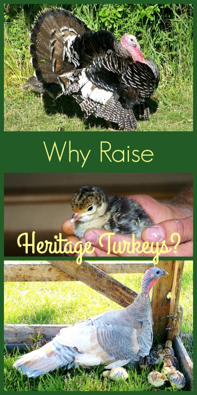 Learn about the heritage turkeys with its strong survival instincts and ability to propagate on the land!