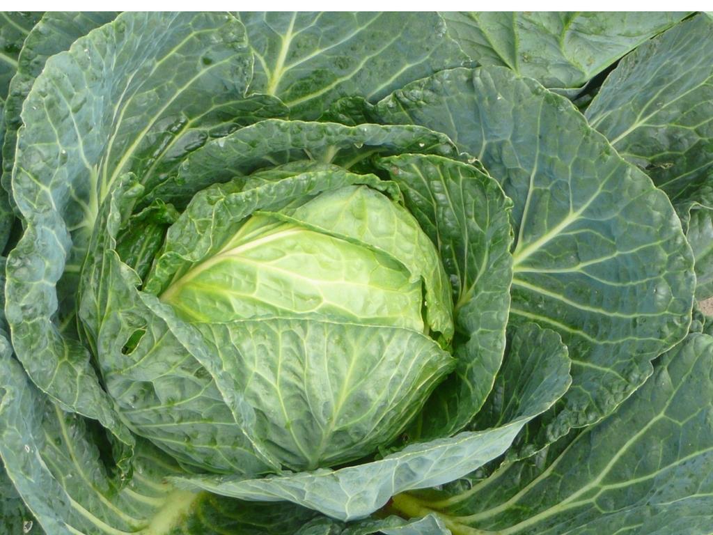 Fermented Cabbage and Carrot Sauerkraut