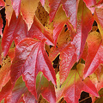 boston ivy photo