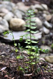 Fortune's Cold Hardy Holly Fern – Cyrtomium fortunei