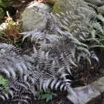 Two ferns