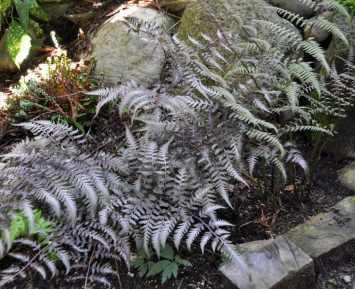 Two ferns