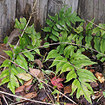 holly fern fortune photo