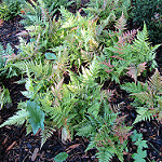 Dryopteris erythrosora photo