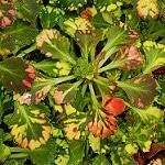variegated london pride photo