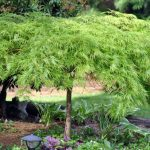 Green Laceleaf Japanese Maple