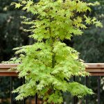 Summer Gold Japanese Maple